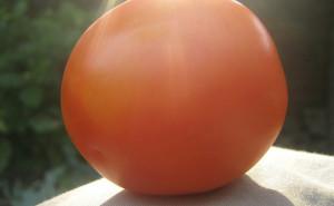 Tomato in the Sun
