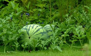 Beautiful Watermelons in garden