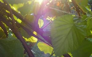 Sun Shining Through Vines