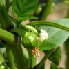 Pepper Plant Bloom