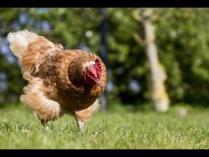 Beautiful Chicken